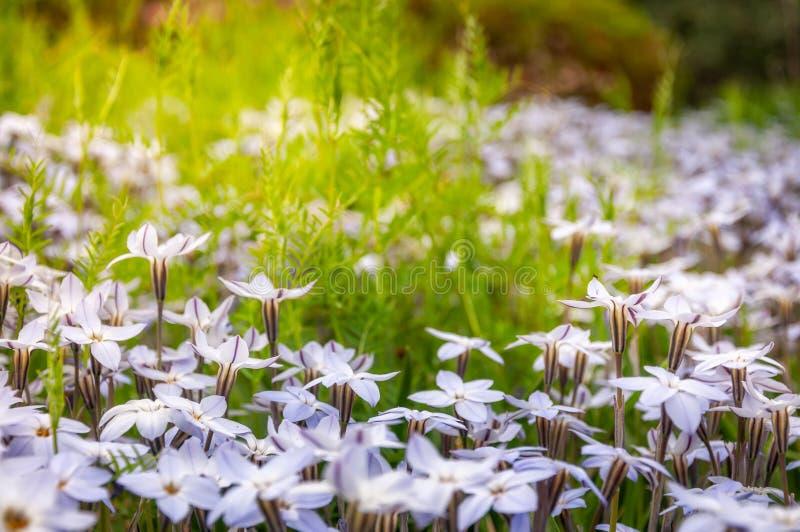 Sonnen-geküsste Wiesen mit weißen Stern-Blumen stockbild