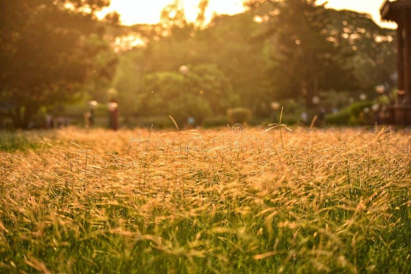 Sonnen-geküsstes Gras stockbilder