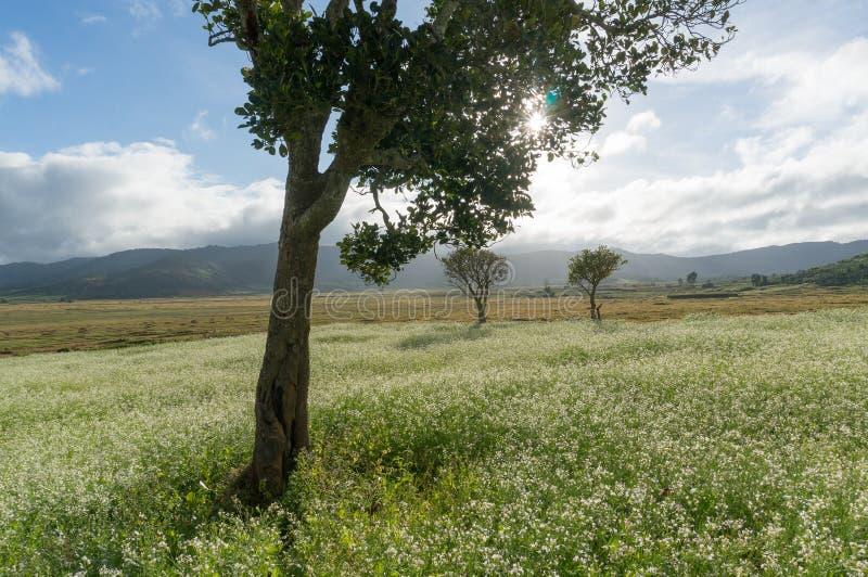 sonnen Sie sich und die Bäume und das Senffeld mit weißer Blume in DonDuong - Dalat- Vietnam lizenzfreie stockfotografie