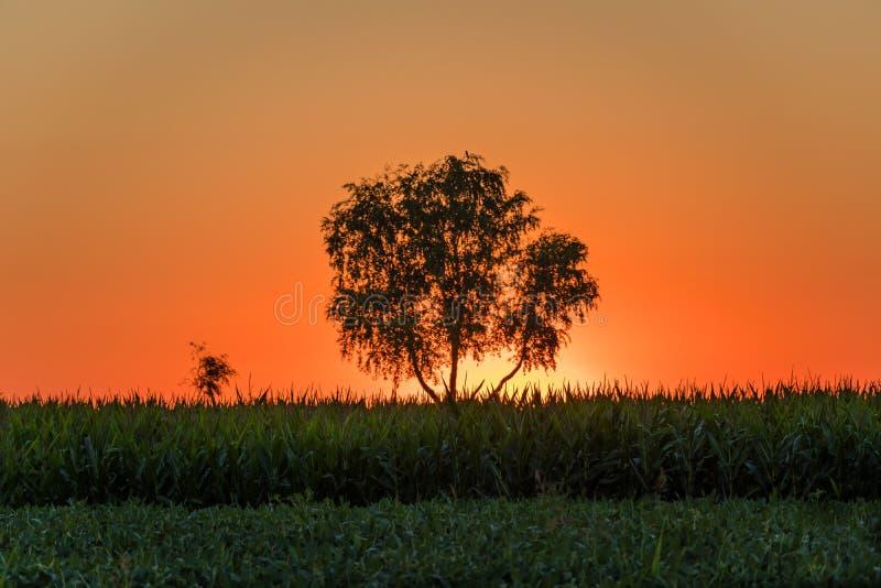 Sonnenaufgang über dem Soja- und Maisfeld und einem Baum in der Pannonian-Ebene stockfotografie