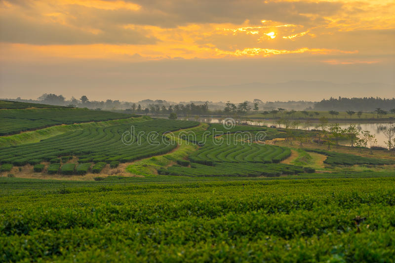 Sonnenaufgang des Teefeldes morgens lizenzfreie stockfotografie