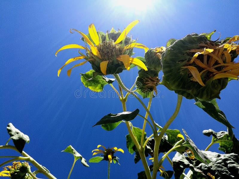 Sonnenaufgangblumen lizenzfreies stockbild