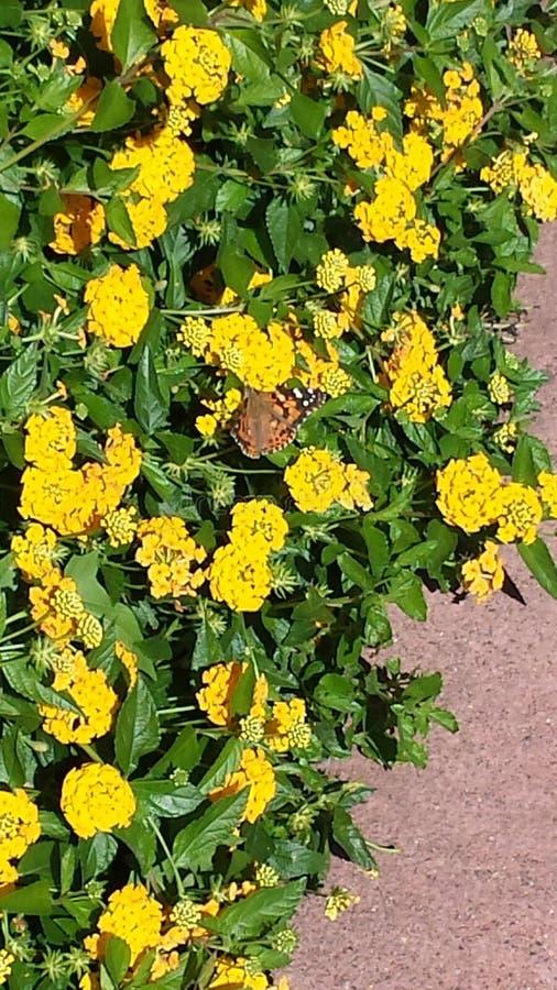 Sonnenbeschiene gelbe Blumen und ein Schmetterling stockfotos