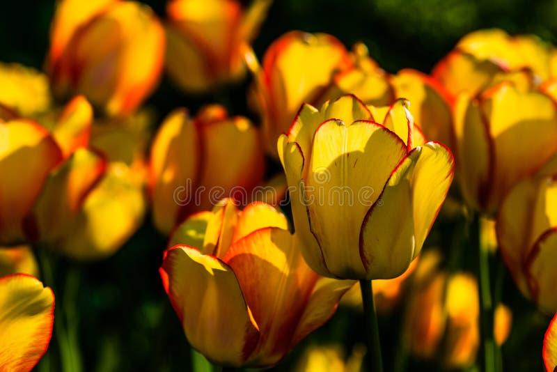 Sonnenbeschiene gelbe Tulpenblumen auf einem Blumenbeet lizenzfreie stockbilder