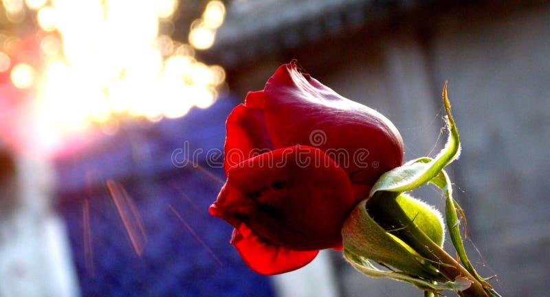 Sonnenbeschiene Rose lizenzfreies stockfoto