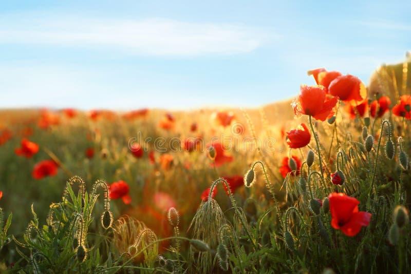 Sonnenbeschienes Feld von schönen blühenden roten Mohnblumenblumen und -himmel lizenzfreie stockfotos