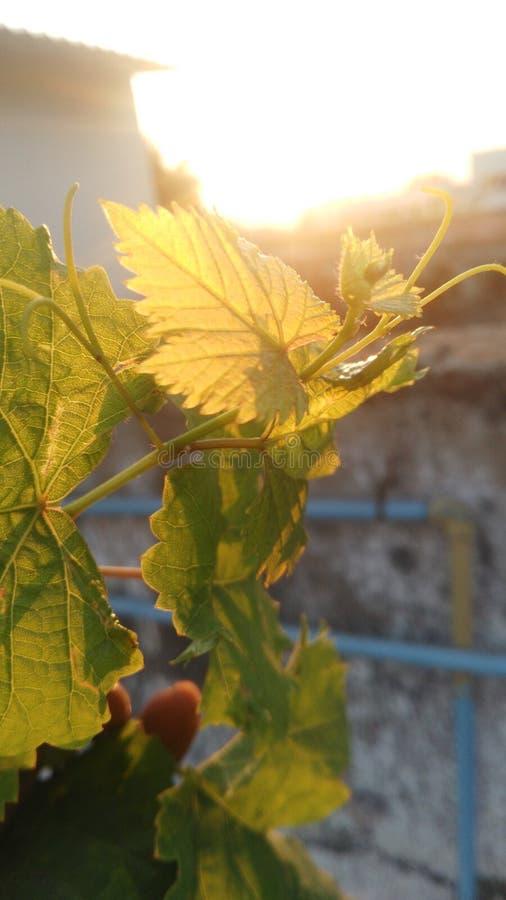Sonnenblatt stockfotos