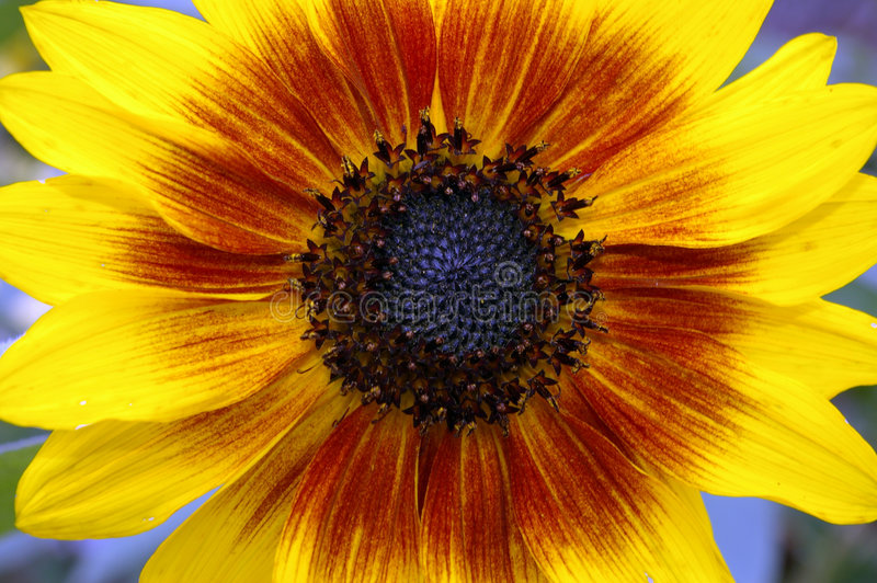 Sonnenblume 01 stockbild