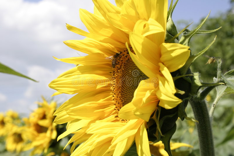 Sonnenblume 1 lizenzfreie stockfotos