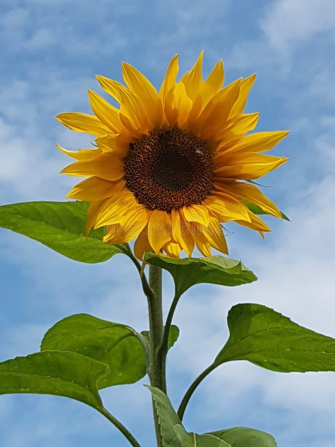 Sonnenblume fotos de archivo libres de regalías
