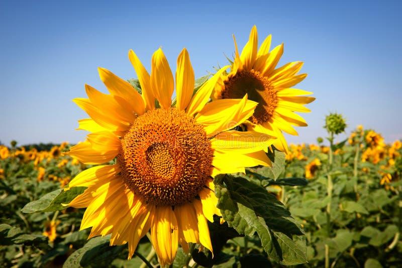 Sonnenblume Kostenloses Stockbild
