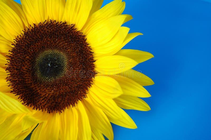 Sonnenblume stockbilder