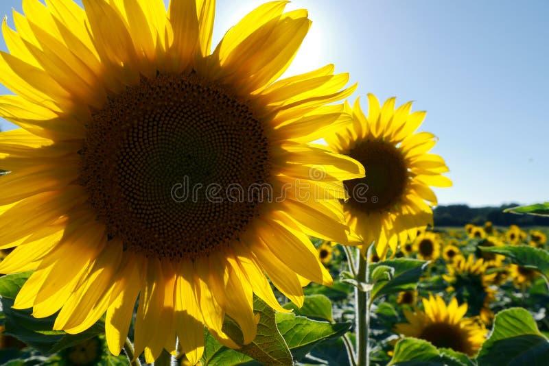 Download Sonnenblume stockfoto. Bild von bewirtschaften, landwirtschaftlich - 26361572