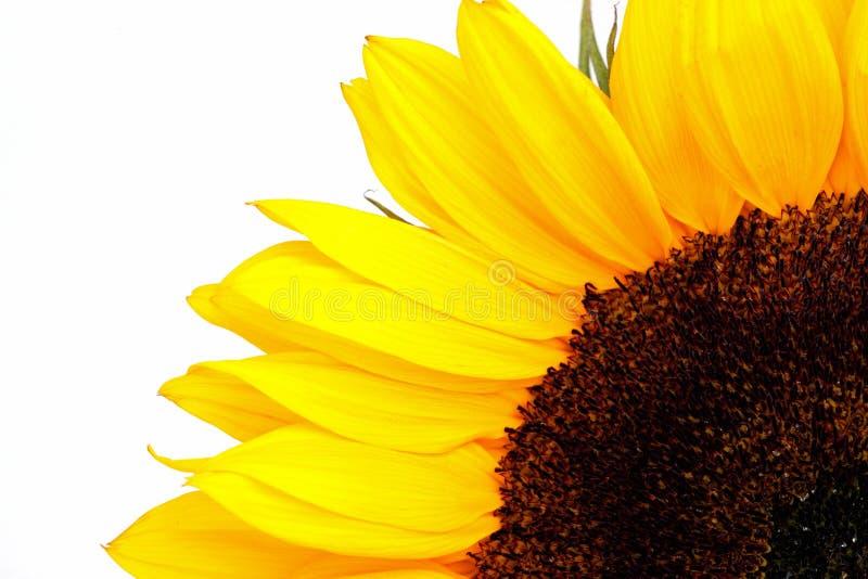 Download Sonnenblume stockbild. Bild von frech, gelb, teil, betrieb - 26365331
