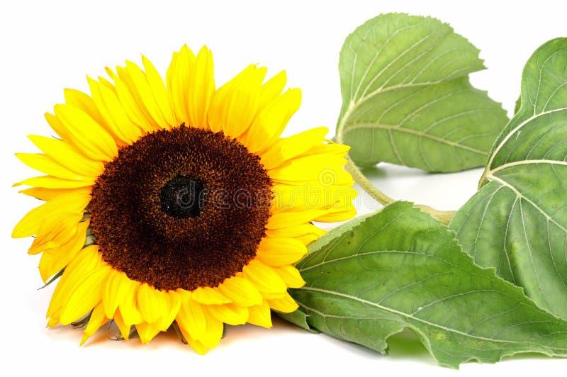 Download Sonnenblume stockfoto. Bild von sommer, groß, botanik - 26365378