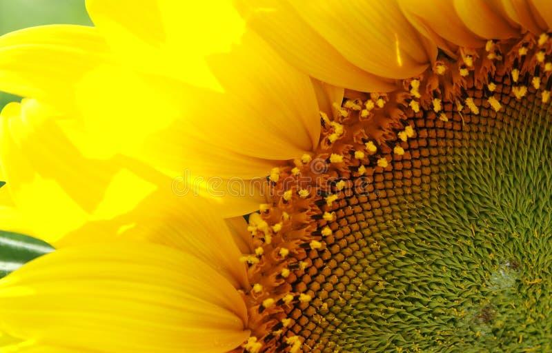 Sonnenblume 3 stockbilder