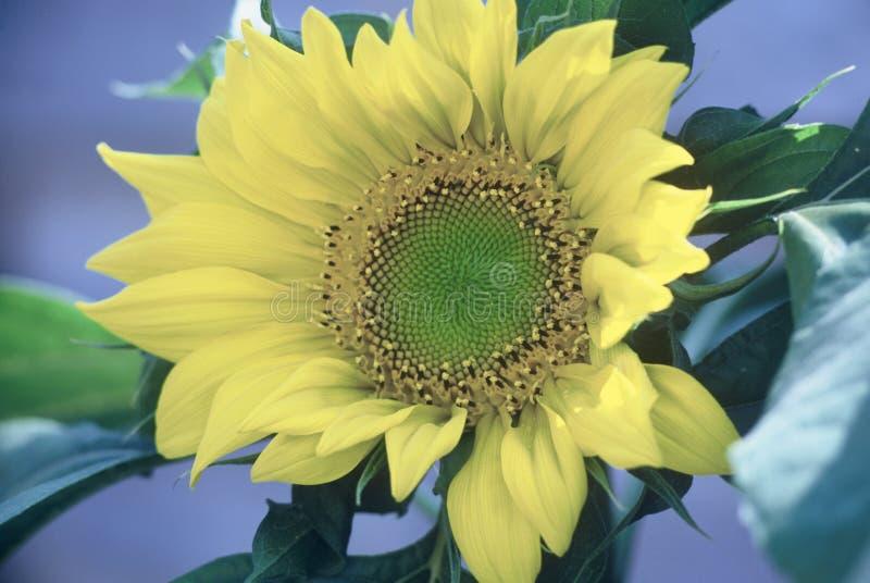 Download Sonnenblume stockfoto. Bild von sonnenblume, blätter, blüte - 31396