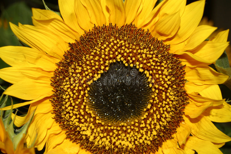 Sonnenblume lizenzfreies stockfoto