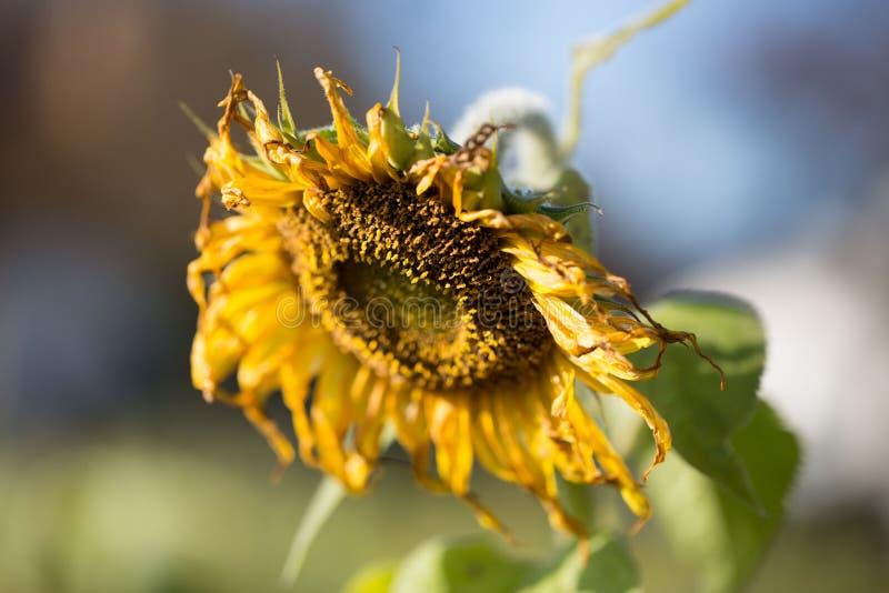 Sonnenblume auf dem Feld verblaßte, im Herbst stockbilder