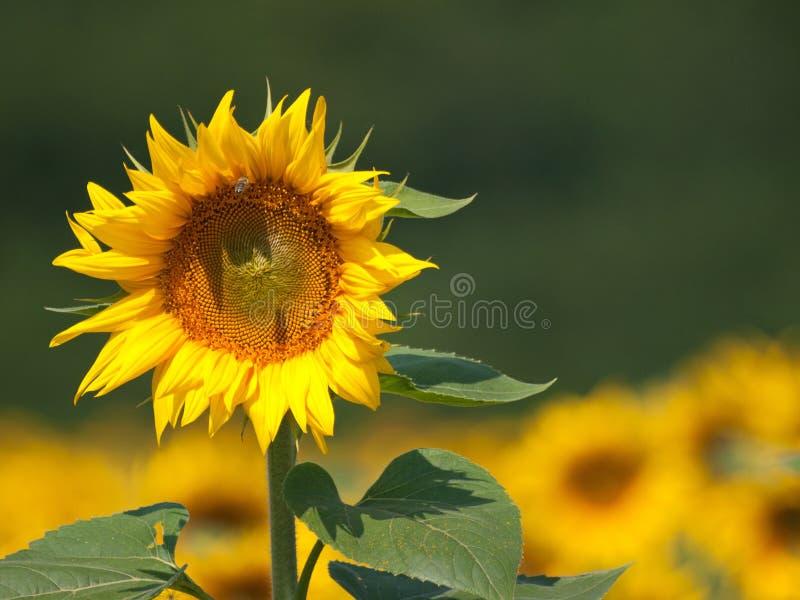 Sonnenblume auf dem Gebiet stockfotos