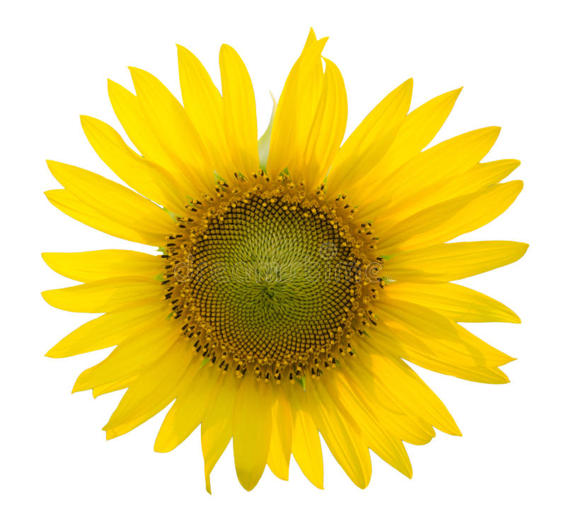 Sonnenblume auf dem lokalisierten weißen Hintergrund stockbilder