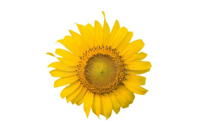Sonnenblume auf dem lokalisierten weißen Hintergrund lizenzfreies stockbild