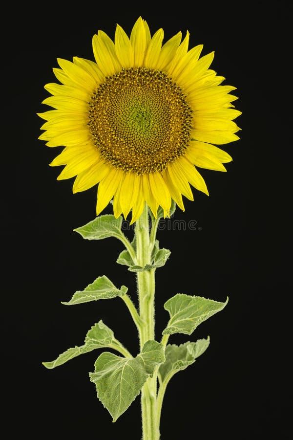 Sonnenblume auf dem schwarzen Hintergrund stockbild