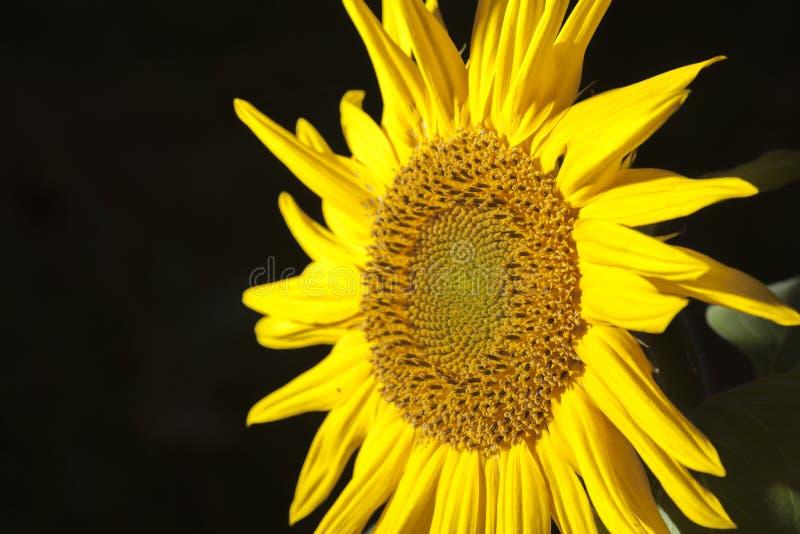 Sonnenblume auf dunklem Hintergrundschnitt lizenzfreie stockfotos
