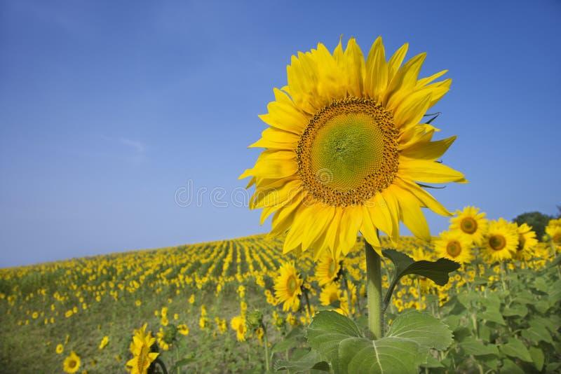 Sonnenblume auf einem Gebiet stockbilder