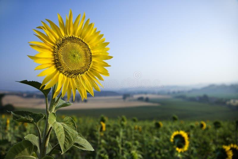 Sonnenblume auf einem Gebiet lizenzfreie stockbilder