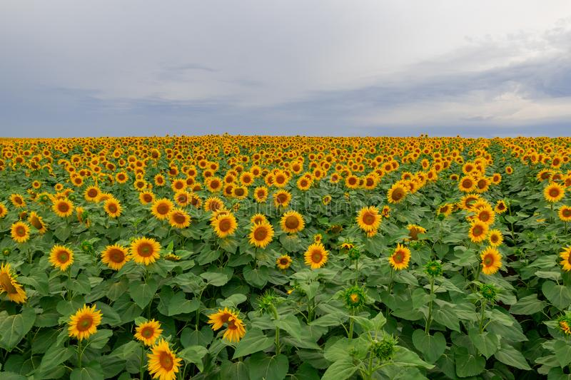 Sonnenblume auf einem Gebiet von Sonnenblumen unter einem blauen Himmel lizenzfreies stockbild