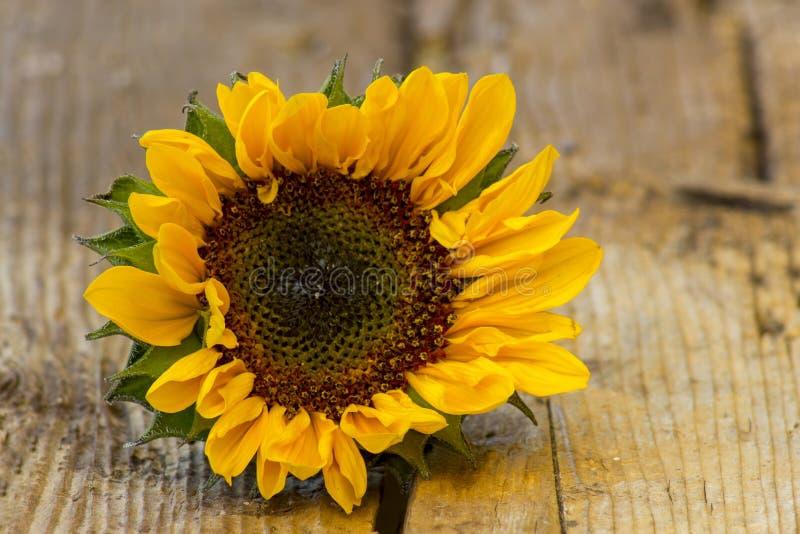 Sonnenblume auf hölzernem Hintergrund Helianthus lizenzfreie stockfotos