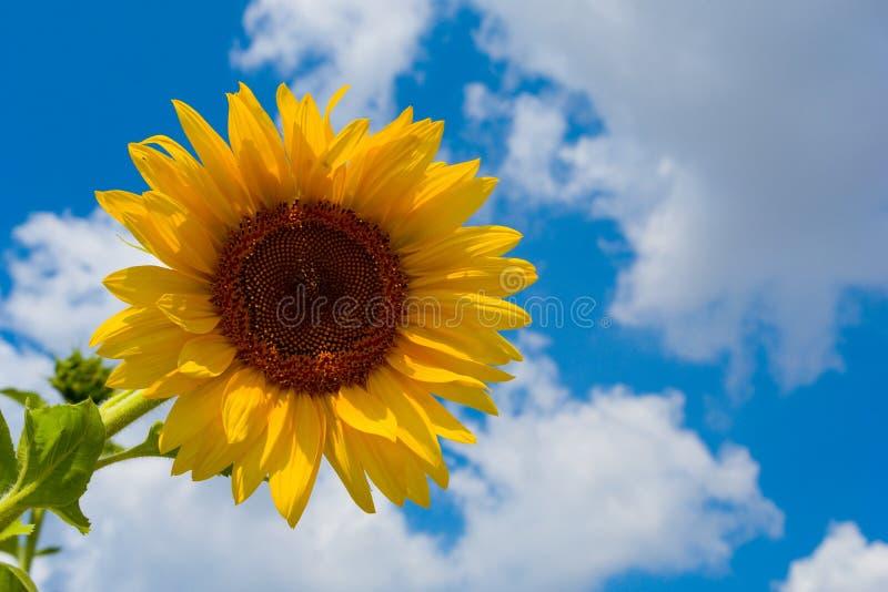 Sonnenblume auf Himmel lizenzfreie stockfotografie