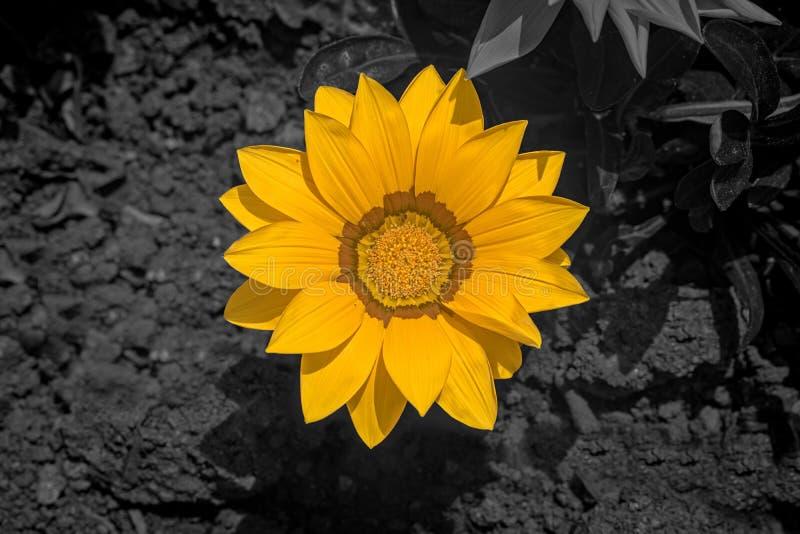 Sonnenblume auf schwarzem Hintergrund stockbild