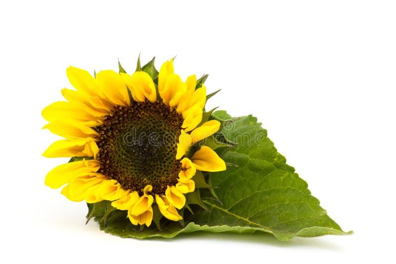 Sonnenblume auf weißem Hintergrund Helianthus lizenzfreie stockbilder