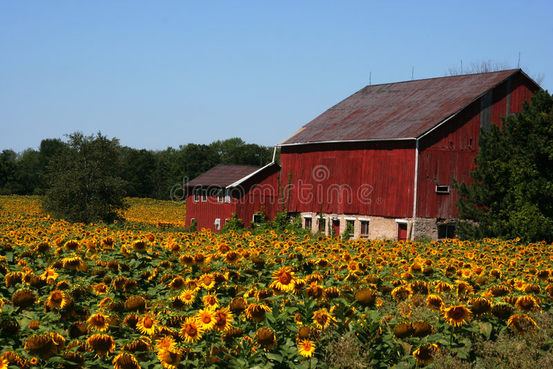 Sonnenblume-Bauernhof stockfotos