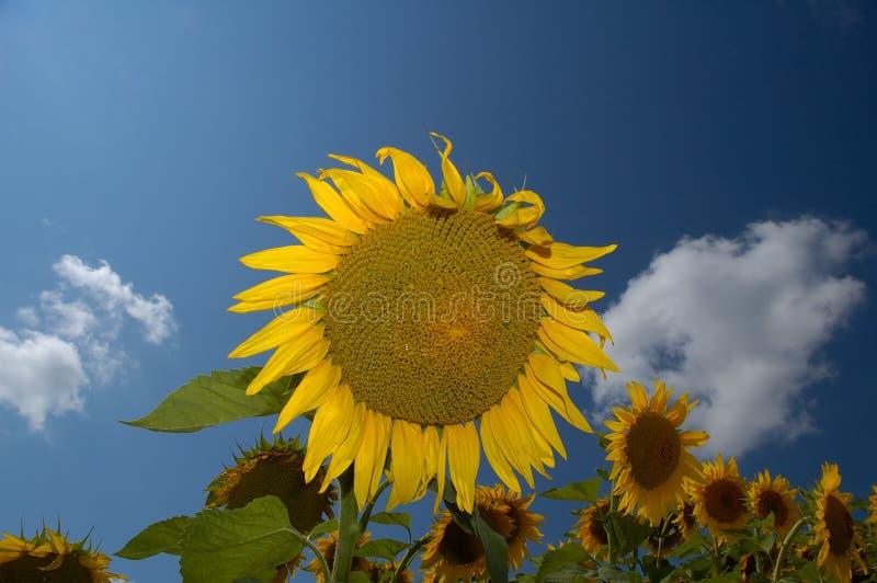 Download Sonnenblume-Bauernhof I stockbild. Bild von einsam, field - 30773