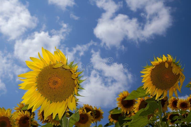 Download Sonnenblume-Bauernhof III stockfoto. Bild von sommer, himmel - 30788