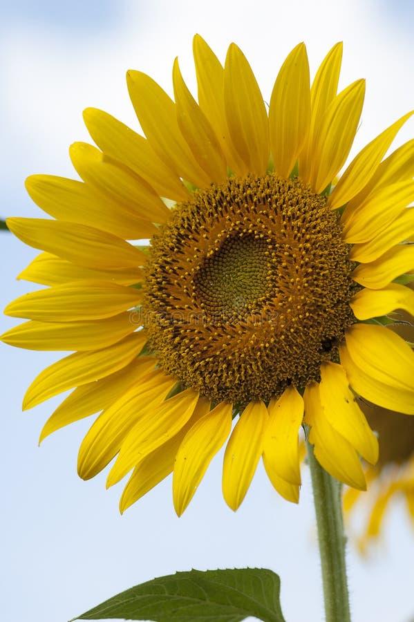 Sonnenblume blühte völlig stockbilder