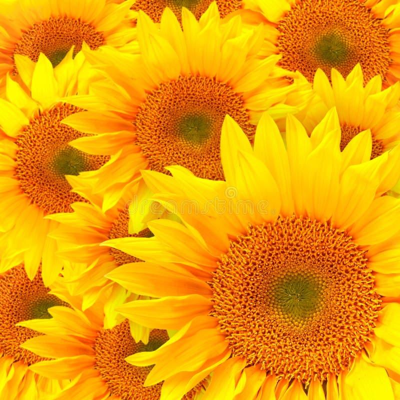 Sonnenblume-Blumenblätter schließen oben stockfotografie