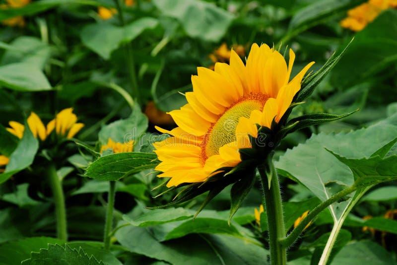 Sonnenblume in China stockbild