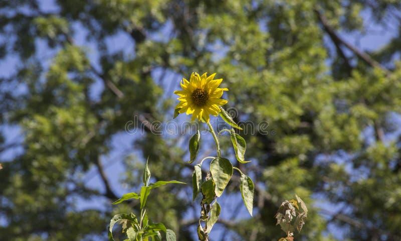 Sonnenblume in den Bäumen stockbild