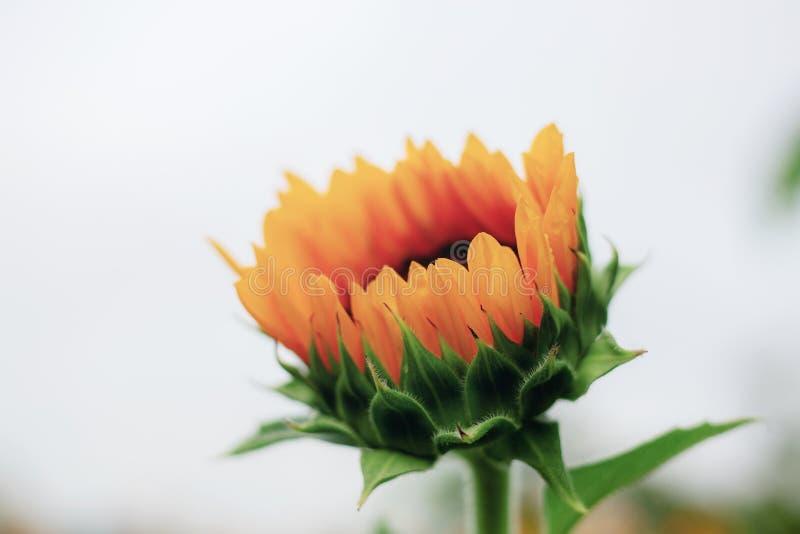 Sonnenblume der Knospe mit Himmel lizenzfreie stockfotografie