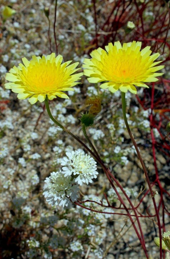 Sonnenblume der sauberen Spitzen, Wüsten-Nationalpark Anza Borrego, stockfotos