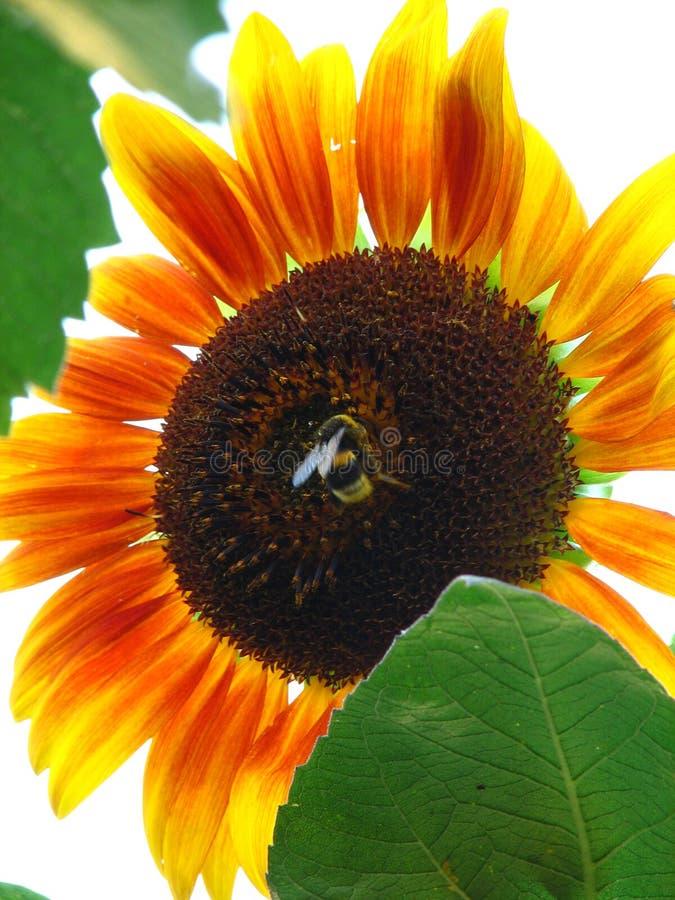 Sonnenblume in der Sonne lizenzfreies stockfoto