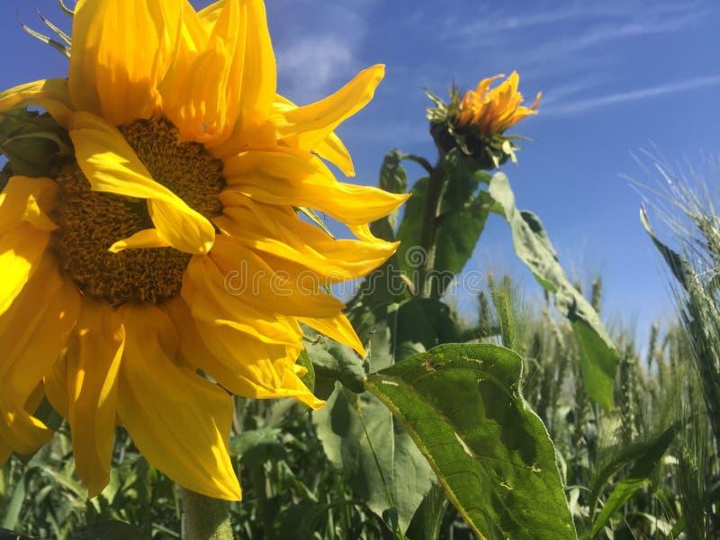 Sonnenblume in der Sonne lizenzfreie stockfotos