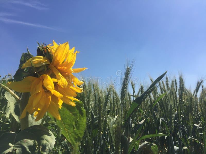 Sonnenblume in der Sonne stockfotos