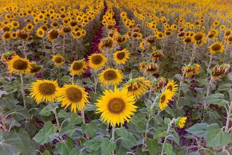 Sonnenblume der vollen Blüte archiviert lizenzfreie stockfotografie