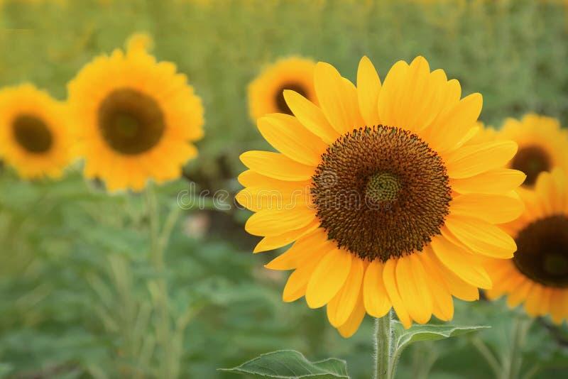 Sonnenblume, die auf dem Gebiet blüht Sonnenblumenöl verbessert Hautgesundheit und fördert Zellregeneration stockfotografie