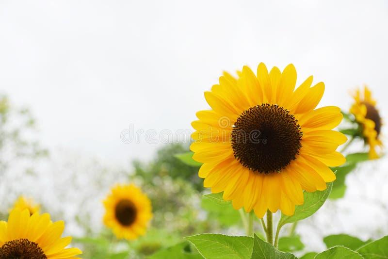 Sonnenblume, die auf dem Gebiet mit Wolke und blauem Himmel blüht Sonnenblumenöl verbessert Hautgesundheit und fördert Zellregene lizenzfreies stockbild